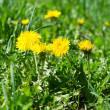 Dandelions in green grass — Stock Photo