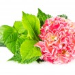 Stock Photo: Beautiful pink hydrangea. hortensia bloom
