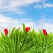 Fresh spring red tulip flowers in green grass — Stock Photo #13518772
