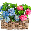 Beautiful hortensia isolated on white. colorful hydrangea in bas — Stock Photo