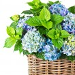 Stock Photo: Blue hydrangea. beautiful hortensia on white background
