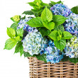 Blue hydrangea. beautiful hortensia on white background — Stock Photo
