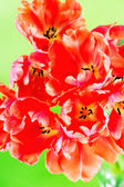 Red tulips on green background — Stock Photo