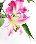 Kwiaty różowe lilia — Zdjęcie stockowe