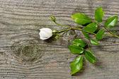 软白色与绿色的树叶玫瑰花蕾 — 图库照片