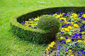 Colorful flower bed. violas — Stock Photo