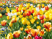 Colorful tulip flowers bed — Stock Photo