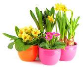 Flores de colorido da primavera em vasos — Foto Stock