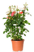 Beautiful roses bush in pot isolated on white — Stock Photo