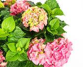 Rosa hortensia. bella hortensia sobre fondo blanco — Foto de Stock