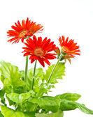 Red gerbera on white background — Zdjęcie stockowe