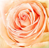 新鲜玫瑰的特写 — 图库照片