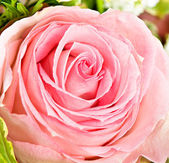 Close-up of fresh pink rose — Foto de Stock
