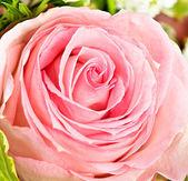 Close-up of fresh pink rose — Stock Photo