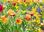 Barevné jarní tulipán květy — Stock fotografie