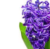 Blue hyacinth flower with water drops — Stock Photo