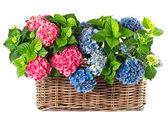 Colorful hydrangea bushes. beautiful hortensia — Stock Photo