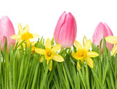 Fresh spring narcissus flowers in green grass — Stock Photo