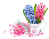Blue and pink spring hyacinth flowers — 图库照片