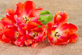 Red tulips on burlap background — Stockfoto