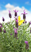 Lavender flowers and yellow butterfly over blue sky — 图库照片
