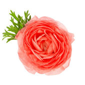 Beautiful single flower red ranunculus — Stock Photo