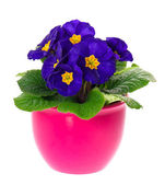 Blue primulas in pink pot isolated on white background — Stock Photo