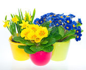 Primulas and narcissus in colorful pots — Stock Photo