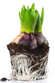 Spring flowers. hyacinth beginnings with roots and dirt — Stockfoto
