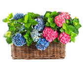 Blue and pink hortensia in basket — Stock Photo