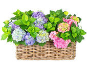 Beautiful hortensia on white background. colorful hydrangea — Stock Photo
