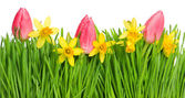 Fresh spring narcissus and tulip flowers in green grass — Stockfoto