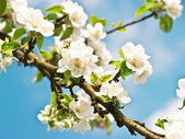 Blossoming apple tree with white flowers — Stock Photo