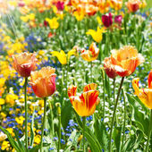 Colorful spring tulip flowers — Stock Photo