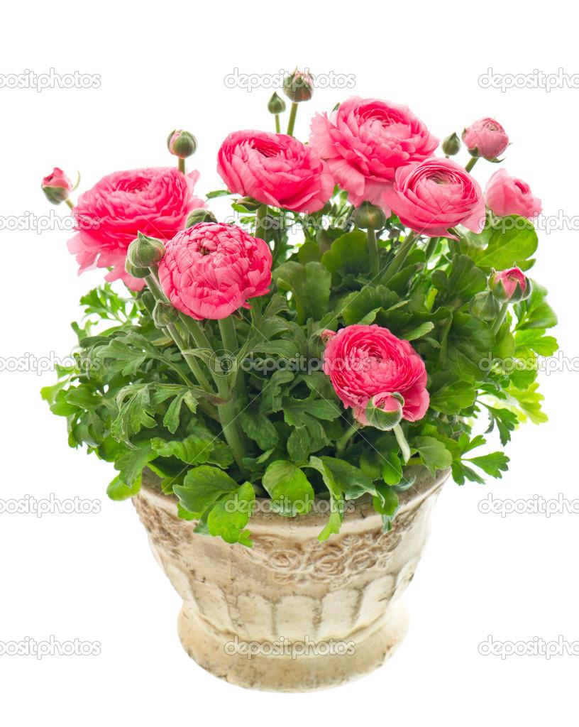 renoncule rose belle plante en pot photo 13510980. Black Bedroom Furniture Sets. Home Design Ideas