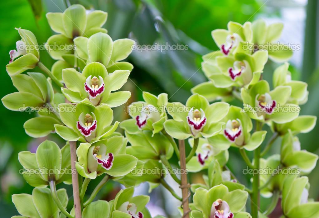 Image gallery orquideas verdes - Flores tropicales fotos ...