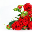 Beautiful red roses on a white background — Foto de Stock