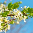 Blossoming apple tree with white flowers over blue sky — Stock Photo