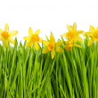 Fresh spring narcissus flowers in green grass — Stock Photo #13531147