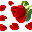 Foto Stock: Single red rose flower with petals