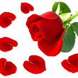 Single red rose flower with petals - Stock Photo