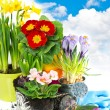 Spring flowers hyacinth, narcissus, crocus and primula — Stock Photo