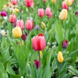 Assorted colorful tulips on flowerbed — Stock Photo