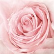 Close-up of fresh pink rose — Stock Photo #13531397