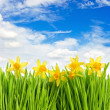 Fresh spring narcissus flowers in green grass — Stock Photo #13531587