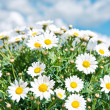 Fresh daisies against a blue cloudy sky — Stock Photo