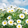 Stock Photo: Fresh daisies against a blue cloudy sky