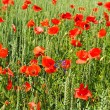 Spring wheat field with poppy flowers — Stock Photo #13531762