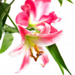 Pink lily flowers - Stock Photo