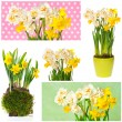 White and yellow narcissus flowers. collage — Stock Photo